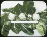 Cauliflower display, Montgomery County, Maryland, 1917-1924