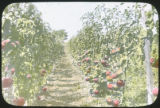 Tomato plants espaliered in rows and loaded with fruit, Montgomery County, Maryland, 1917-1924