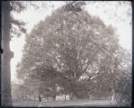 Mary Gilipin's oak tree, Sandy Spring, Montgomery County, Maryland, 1910-1920