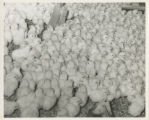 Baby chicks in incubation drawer at chicken hatchery (closeup), circa 1970